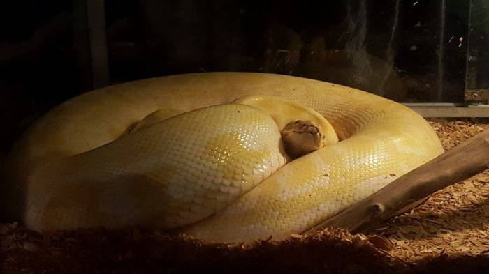 animals-python1